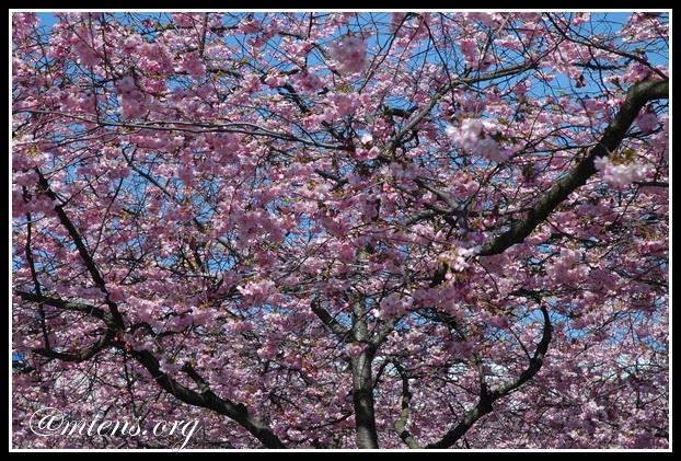 cherryblommom2014-01