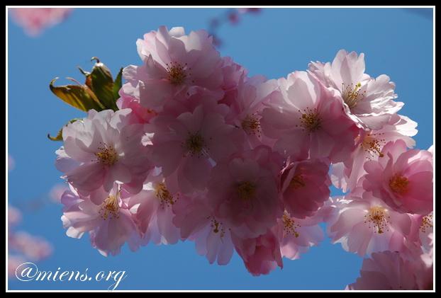 Klase körsbärsblommor